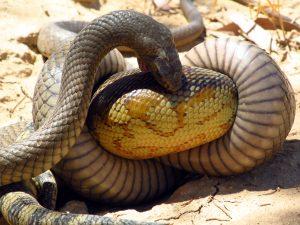 Australian Brown Snake